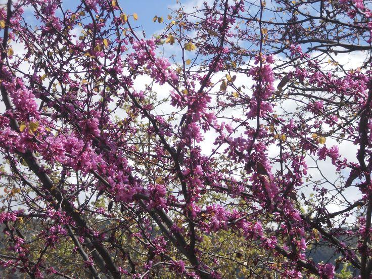 Cercis siliquastrum or Judas tree