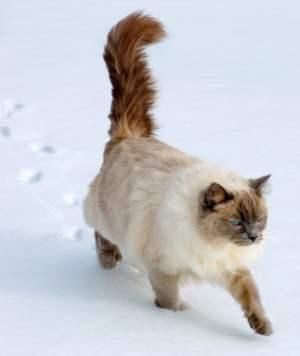 Ragdoll Cat Rescue Associations