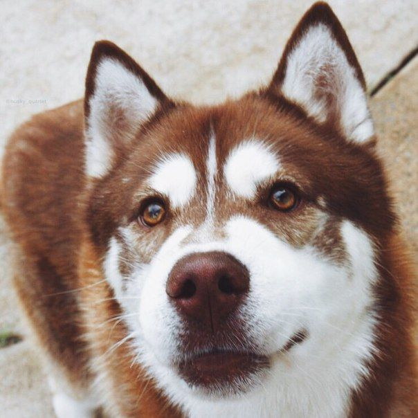 disappointed husky - photo #26