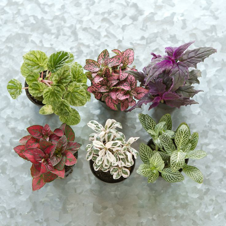 "Terrarium Plant Collection, Low Plants for Terrariums ~ ""Hand-selected especially for terrain, this set of low plants makes it easy to fill a shallow terrarium. Chosen for their beautifully varied colors and textures, these tropical plants will thrive in both open air and closed vessels."""