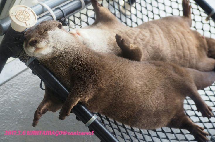 Otterly good naps!