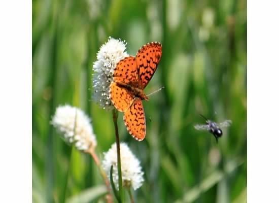 Butterflies at Bass Lake, CA