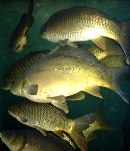 Koi's Past and Future | Koi and Goldfish breeding tips