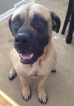 THOR ~ Mastiff CHICAGO, IL G.L.M.R  I am Thor, a handsome, 3 yr old, boy. My family couldn't afford to keep me. I'll probably not weigh over 135 lbs. I'm strong like my name. When I got here I was caledl a bolter-when everything/anything scared me-off I went! I'm more secure-a few things still bother me. I hate being home alone, even with other dogs & afraid of thunder. Neutered, UTD shots, House trained. CALL: 206-202-3543  email: mastiff.rescue@gmail.com   ID#23697052 Please take me HOME!!