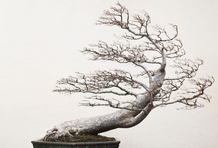 A Chinese Elm pending (training date unknown) at the National Bonsai and Penjing Museum in Washington, DC. One of my favorite shots from Stephen Voss' book! #bonsaitree