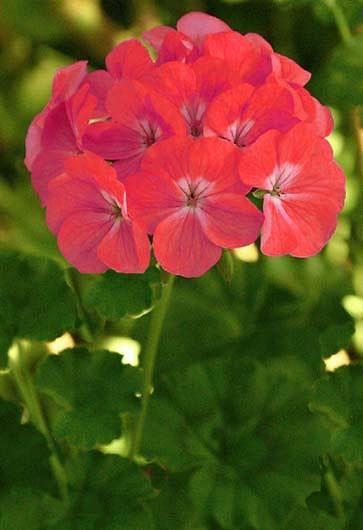 Geranio (Pelargonium), cultivo y cura