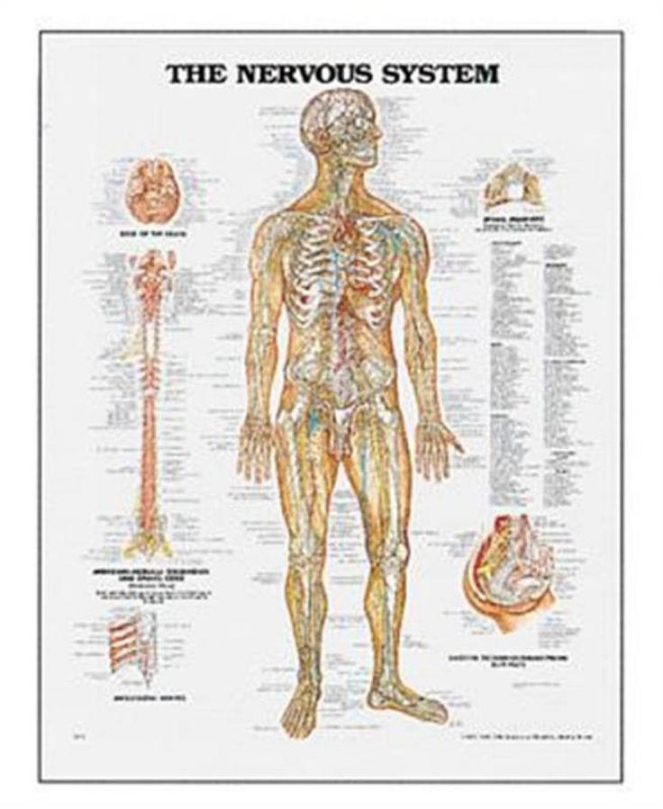 7 best Nervous system images on Pinterest | Physical therapy, Human ...