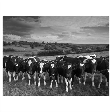 Cattle: Canvas Prints, Animal
