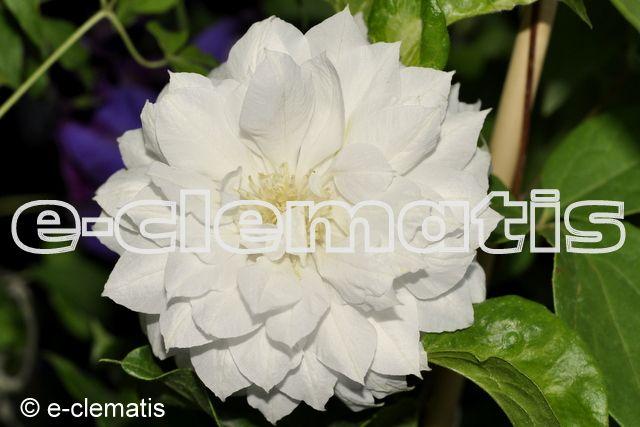 Clematis Duchess of Edinburgh