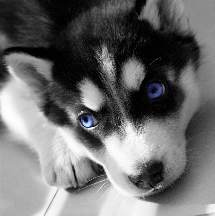 Image from http://www.pictanimal.info/wp-content/uploads/2014/10/baby-white-husky-for-sale.jpg.