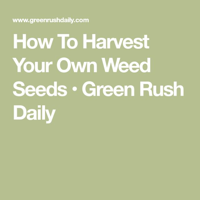 How To Harvest Your Own Weed Seeds • Green Rush Daily