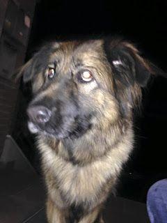 Βρέθηκε θηλυκό ημίαιμο τσοπανόσκυλο κοντά στο Ελαιόρεμα, στην Πυλαία Θεσσαλονίκης.