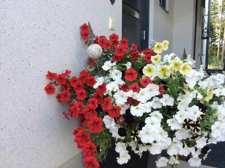 Petuniat ulko-ovelta