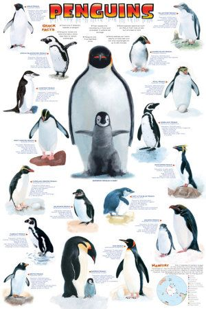 A great infographic poster of those little tuxedo-wearing Arctic birds - Penguins! Packed with pictures and facts. Perfect for classrooms and Eskimos! Fully licensed. Ships fast. 24x36 inches. Need Po