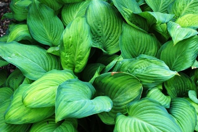 Guacamole Hosta - Shade Perennial Fragrant Hosta Plant