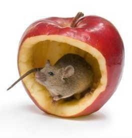 Best 25 Peppermint Oil Mice Ideas On Pinterest