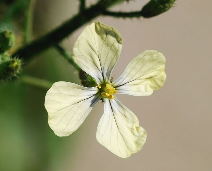 Eruca sativa flower