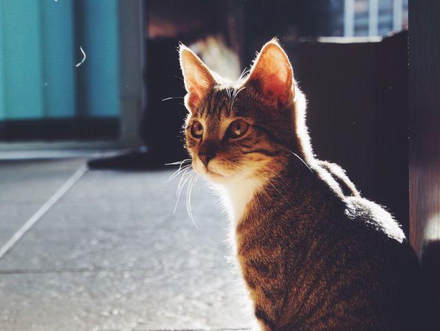 Traumsymbol: Katze  Zwar befindet sich der Hund von allen Tieren am längsten in der Obhut des Menschen, doch auch die Katze kann auf eine lange Beziehungstradition mit dem Menschen zurückblicken. Mehr dazu auf: http://www.astrozeit24.de/traumdeutung/katze/