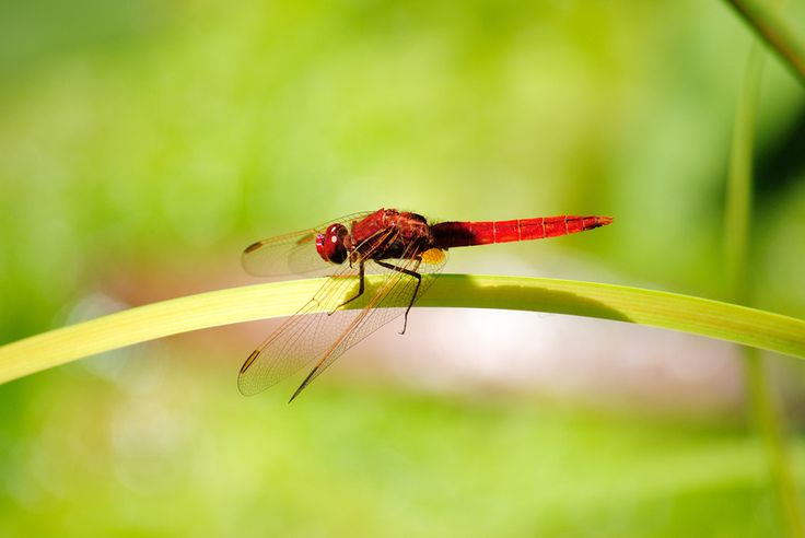 Libellula - Dragonfly by Antonello Franzil on 500px