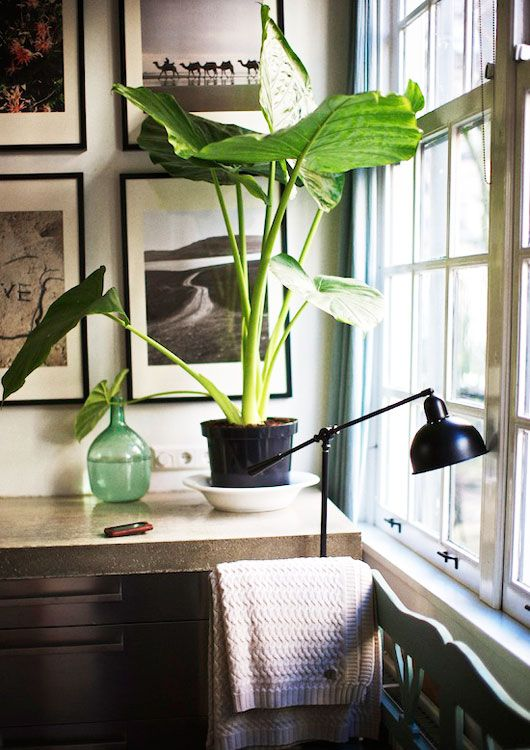 big prehistoric looking plant: House Plants, House Design, Elephants Ears, Architecture Interiors, Design Interiors, Interiors Design, Hotels Interiors, Bedrooms Decor, Indoor Plants