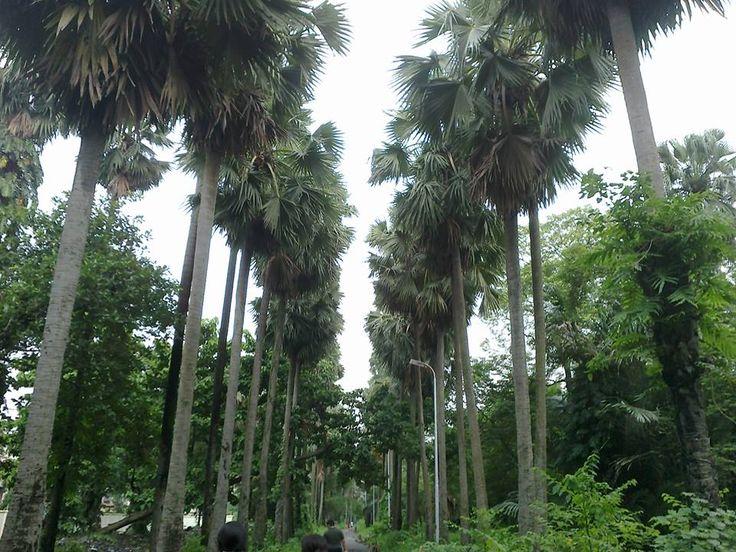 Palm Row, Botanical Gardens, Kolkata, India