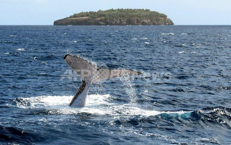 トンガのババウ(Vava'u)島沿岸で海にもぐるザトウクジラ(2005年8月4日撮影、資料写真)。(c)AFP/David BROOKS ▼21Apr2014AFP|デンマーク、ザトウクジラの捕獲再開を要求 IWC総会 http://www.afpbb.com/articles/-/2614671 #Humpback_whale #Megaptera_novaeangliae #Baleine_a_bosse #Buckelwal #Bultrug #Dlugopletwiec #Baleia_jubarte #Knolkval #Ryhavalas #Knolval #Pukkelhval #Hnufubakur #Xibarta #Miol_mor_dronnach #Kambur_balina #Paus_Bungkuk