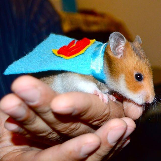 Hamster costume Superman cape.