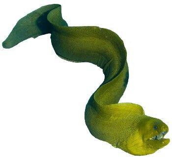Peixe Moreia