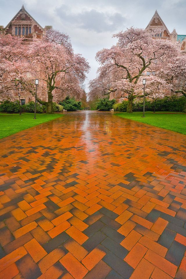 Cherry Blossom Season - University Of Washington, Seattle, Washington