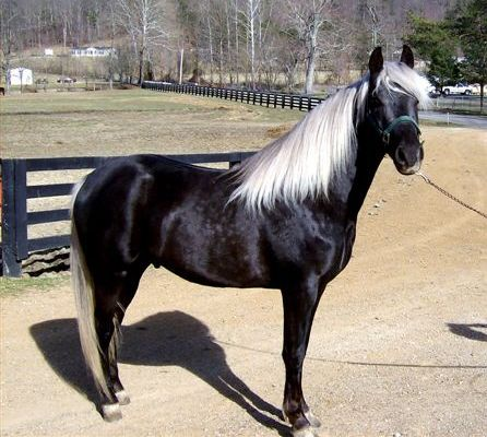 Amazing example of an extremely dark chocolate with white mane and tail.  This color is very difficult to get, and even harder to keep, as the white mane and tail tends to darken with age on many Chocolate horses.  Blue Boy's Dakota, photo courtesy of Yvonne Thompson.