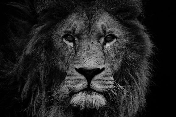 Lion Photograph Print  Lion Head Black and by WildnisPhotography, $200.00