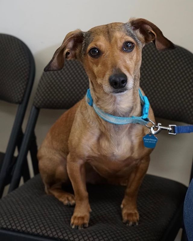 Ernie Banks Wants His Home Run In Finding A Forever Home With You Apply To Adopt Our Gentle Dachshund Mix At Reachrescue Dachshund Mix Dog Adoption Adoption