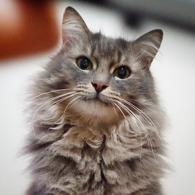 meowoof @meowoofau Hi # #catsofinst...Instagram photo | Websta (Webstagram)