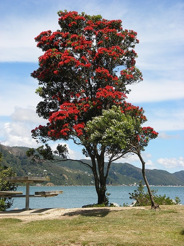 Pohutukawa trees - known as New Zealand's Christmas trees  because around Christmas time, they produce blazing colorful blossoms