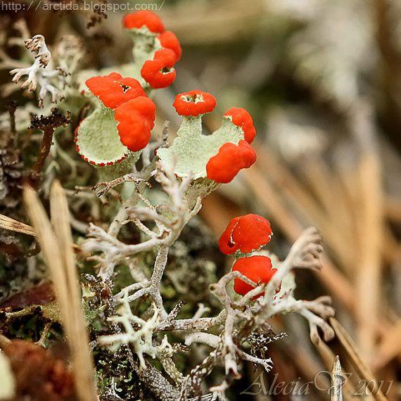 Nature Photography Print - close up shot of beautiful British Soldier Lichens (Cladonia cristatella).    Title: British Soldier Lichen  Image Area: 5x5 inches