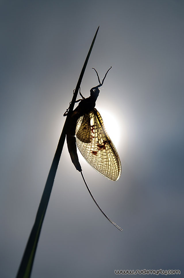 I hate you, fishfly! Come to town, land on anything with a light, then die. By the millions. Disgusting.