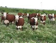 Hereford Cattle -