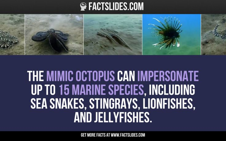 The Mimic Octopus can impersonate up to 15 marine species, including Sea Snakes, Stingrays, Lionfishes, and Jellyfishes.