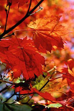 Acer japonica 'Full Moon Maple' ~autumn leaves.jpg