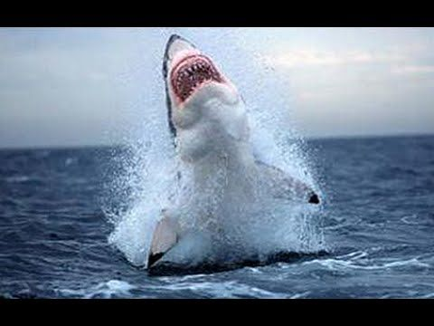 O Grande Tubarão Branco - Ataque Animal - Documentário National Geographic