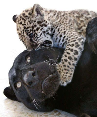 [Abnormally] Black Jaguars Love Their Non Black Kittens