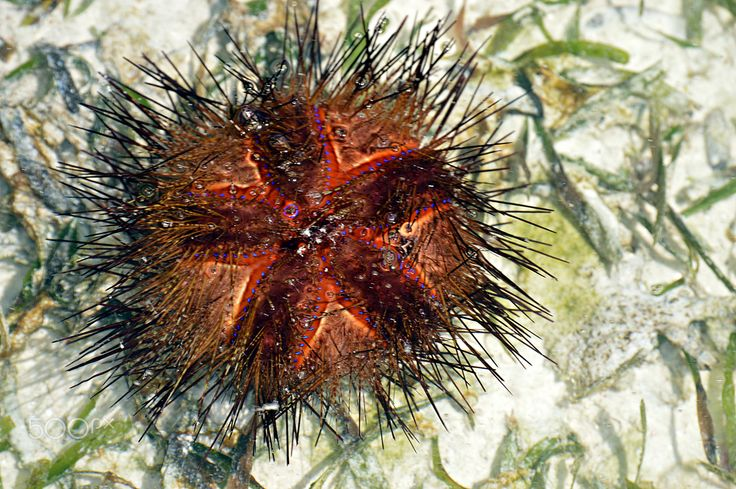 "Sea ​​Urchin - Sea urchins or urchins, archaically called sea hedgehogs, are small, spiny, globular animals that, with their close kin, such as sand dollars, constitute the class Echinoidea of the echinoderm phylum. About 950 species of echinoids inhabit all oceans from the intertidal to 5000 m deep. The shell, or ""test"", of sea urchins is round and spiny, typically from 3 to 10 cm (1.2 to 3.9 in) across. Common colors include black and dull shades of green, olive, brown, purple, blue, and…"