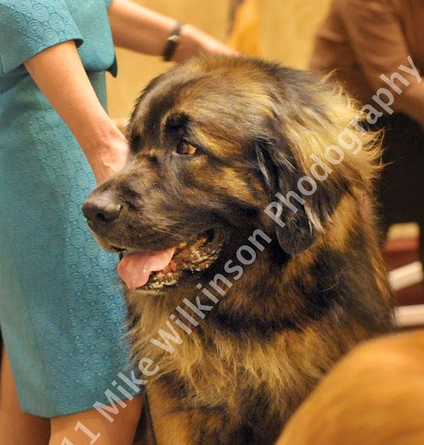Gallery Leonberger Club Of America National Specialty 2011 Lca Home Leonberger Club Of America Masonhaus Leos Leonberger Puppies Breeder America Dogs Dog Breeds