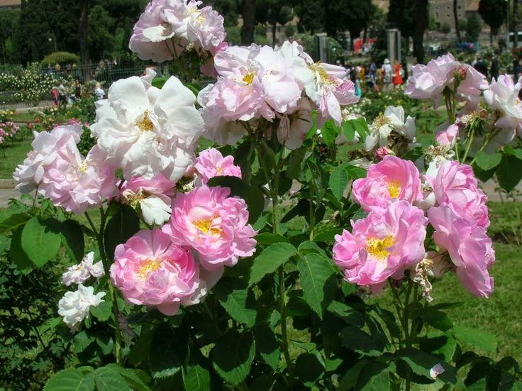 21 best rosas images on pinterest rose trees backyards for Jardineria rosales