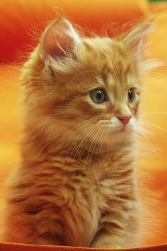 orange as all get out kitten