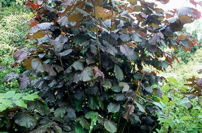 purple-leaved filbert
