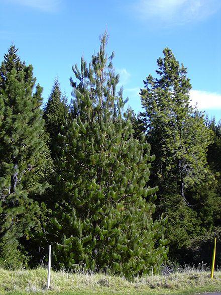 Pinus patula - Wikipedia, the free encyclopedia
