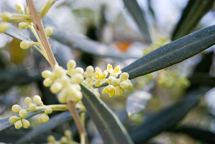 Eliris olive blossom