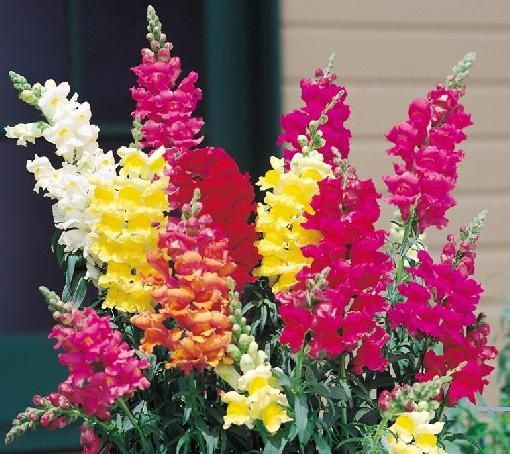 My all-time favorite flower. Love the bright colors of snapdragons, be they tall and graceful or a small happy carpets.