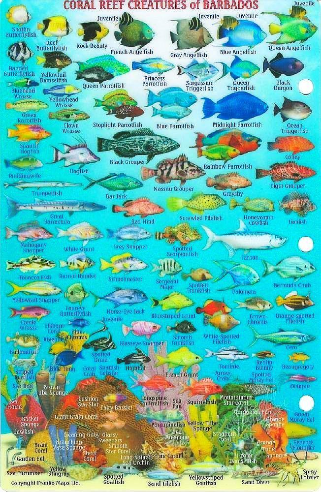 Barbados Dive Map & Reef Creatures Guide